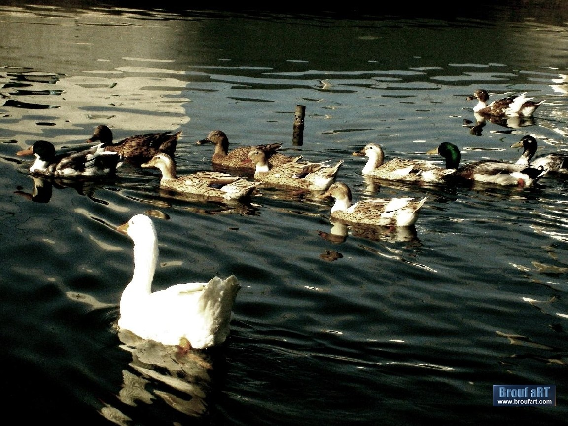 t l charger fonds d 39 cran la mare aux canards gratuitement