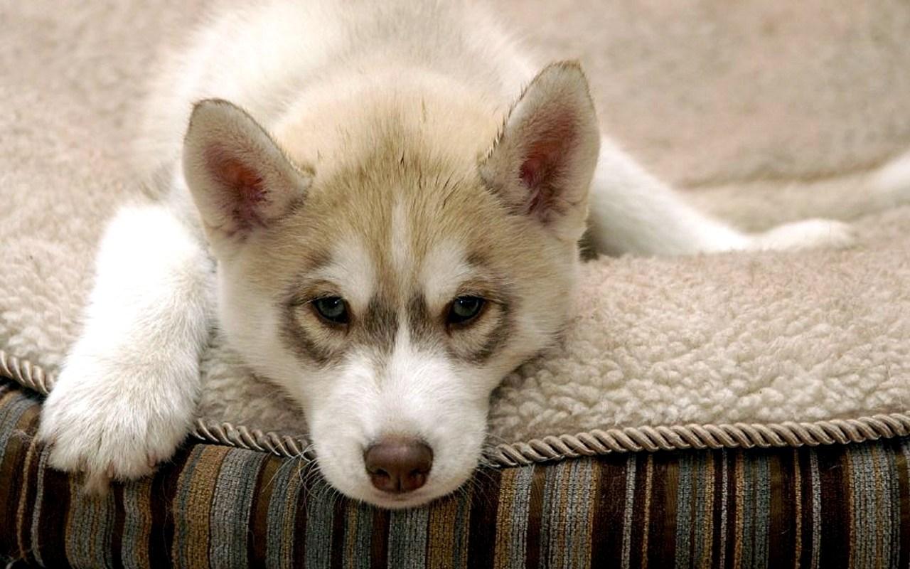 Image b b husky - Image bebe chien ...