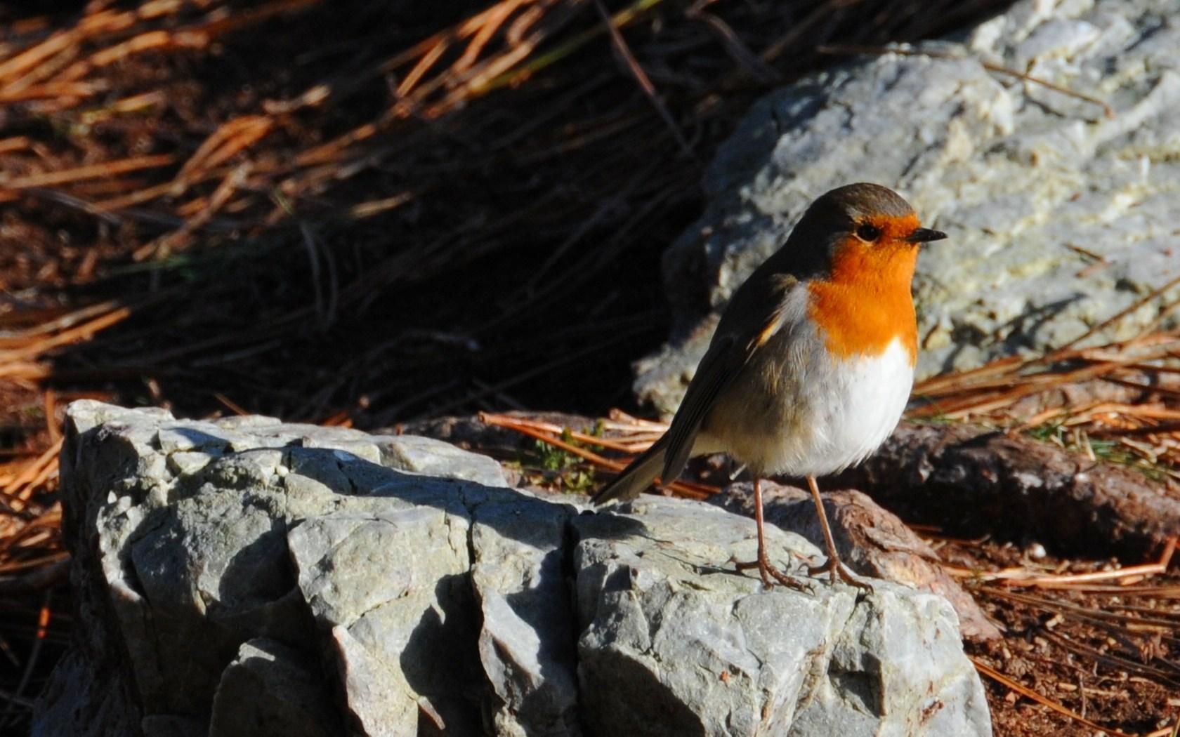 http://images.toucharger.com/img/graphiques/fonds-d-ecran/animaux/oiseaux/rouge-gorge-breton.73181.jpg