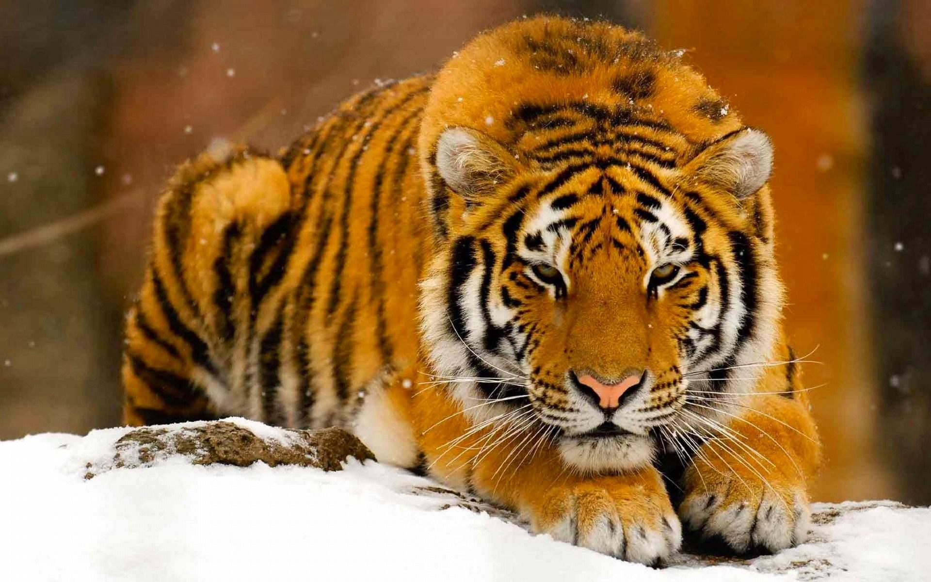 Image tigre des neiges - tigre, tigres, félin, félins, neige