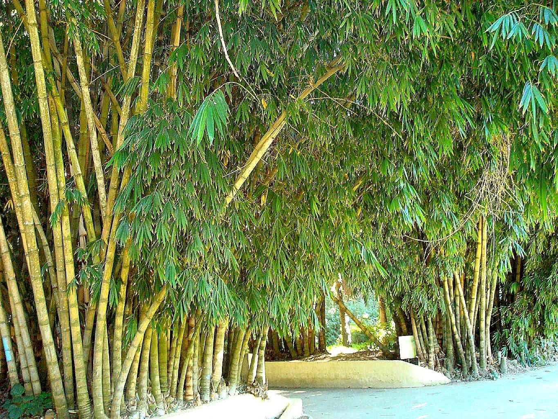 T l charger fonds d 39 cran all e des bambous jardin d for Jardin d essai alger
