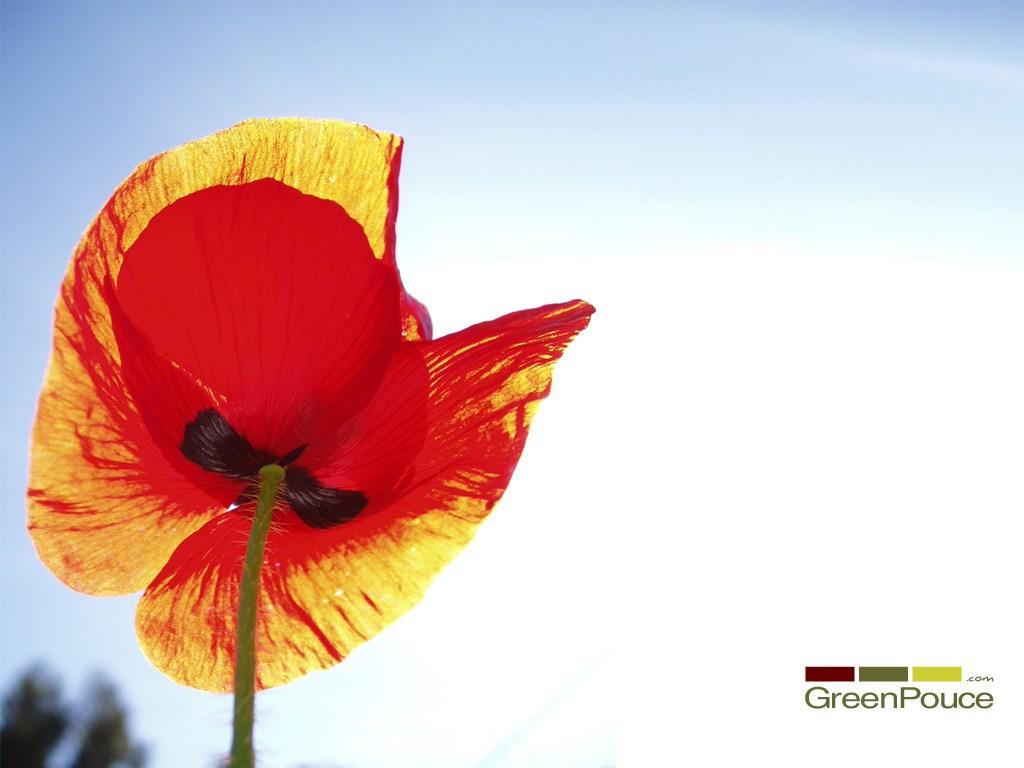 Image coquelicot greenpouce fleur jardin plante nature for Jardin plante