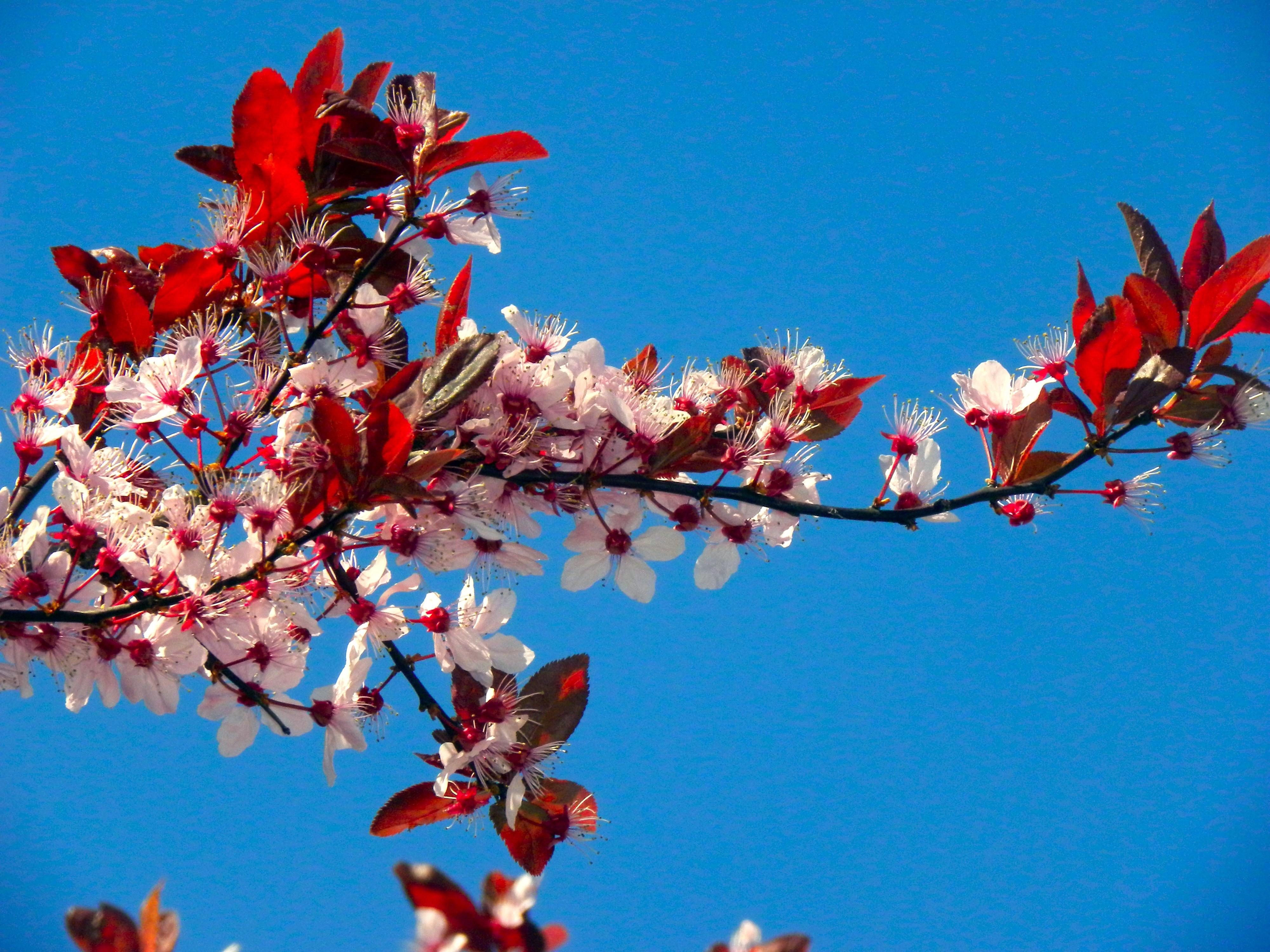 t l charger fonds d 39 cran cerisier du japon gratuitement. Black Bedroom Furniture Sets. Home Design Ideas