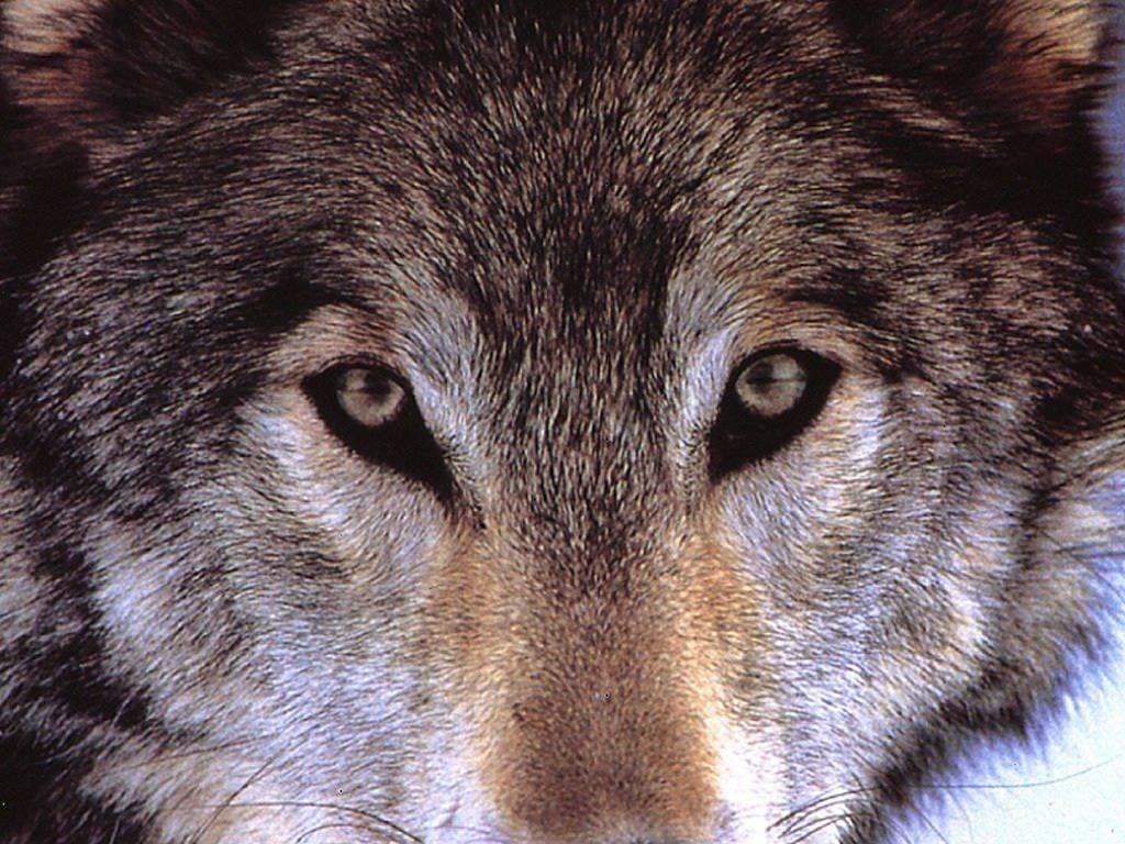 T l charger fonds d 39 cran loup gratuitement for Fond ecran hiver animaux