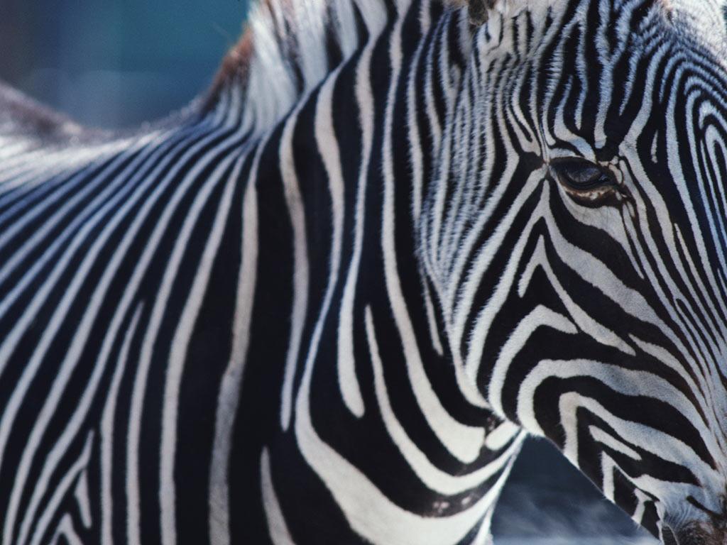 T l charger fonds d 39 cran z bre gratuitement for Fond d ecran zebre gratuit