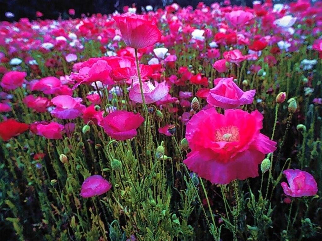 T l charger fonds d 39 cran fleur gratuitement for Fleurs internet