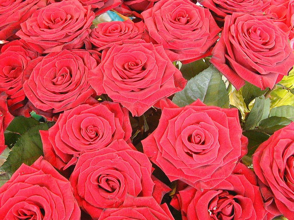Telecharger Fonds D Ecran Roses Gratuitement