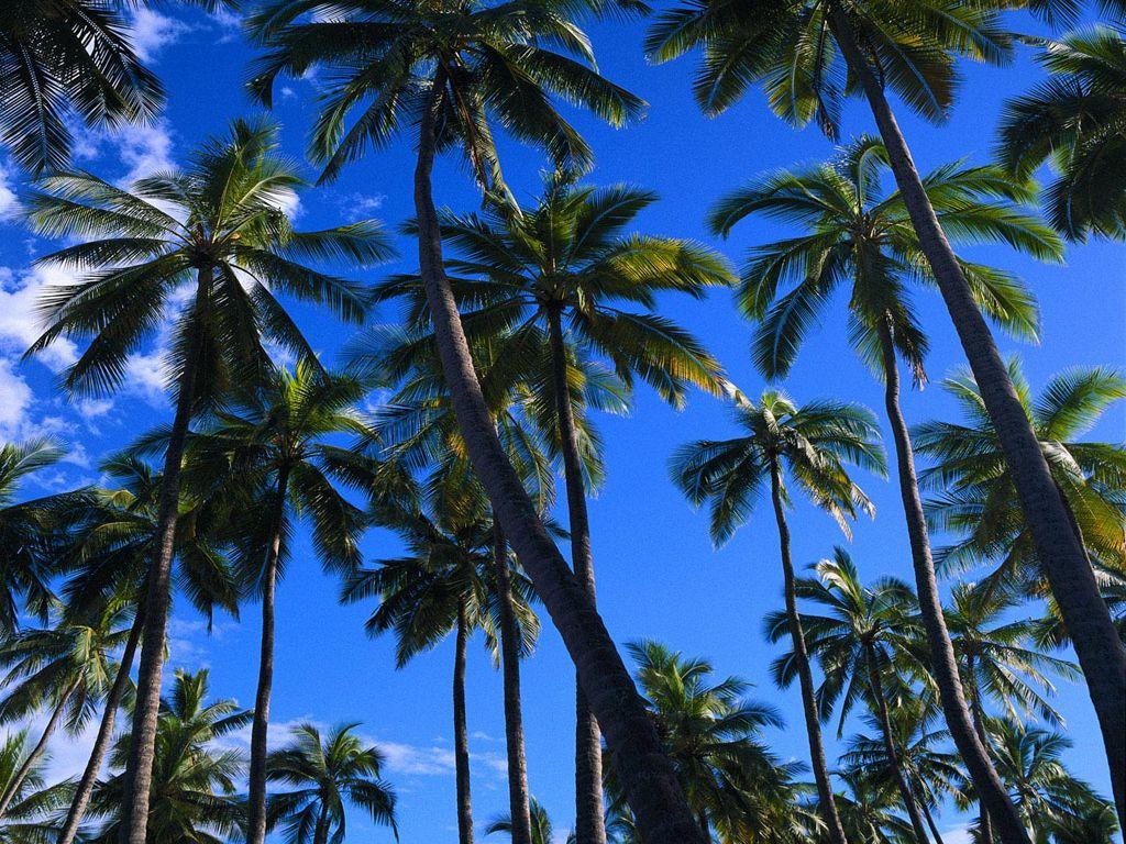 T l charger fonds d 39 cran cocotiers gratuitement - Image palmier ...