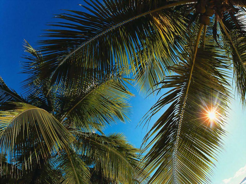 T l charger fonds d 39 cran palmiers gratuitement - Palmier cocotier ...