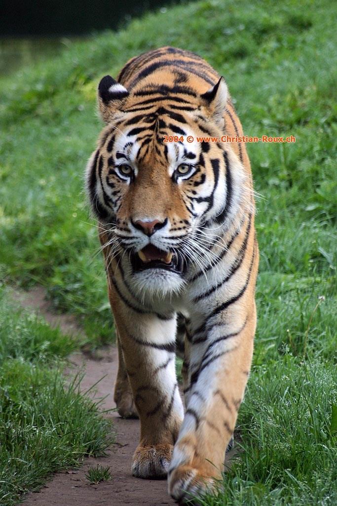 Zoo servion tigre de sib rie 34980 zoo servion tigre de sib rie - Photo de tigre a imprimer ...