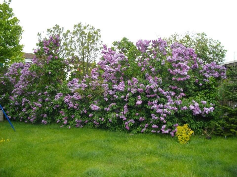 Forums de jardinage afficher le sujet haie de lilas qui fleurit moins - Quand tailler les lilas ...